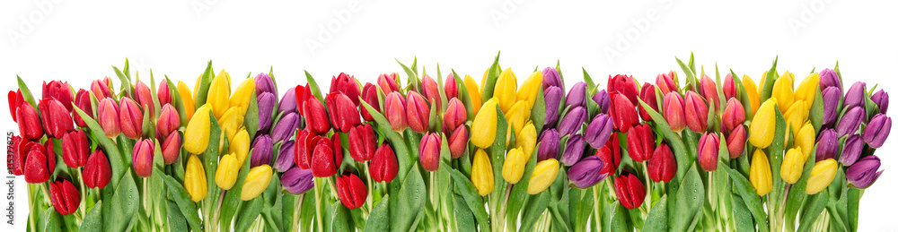 Fototapety, obrazy: Fresh spring tulip flowers water drops Floral banner