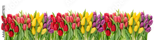 Photo  Fresh spring tulip flowers water drops Floral banner