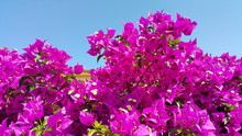 Bright Flowers Of Bougainvillea