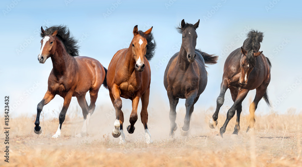 Fototapety, obrazy: Horse herd run gallop with dust