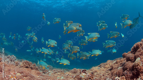 Staande foto Koraalriffen Sailfin and Blubberlip Snapper on a colorful coral reef.