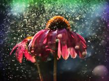 Red Echinacea In The Rain