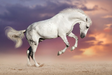 White horse run on sand against sunset sky