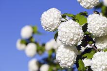 Viburnum Flowers In Spring