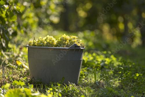 Photo Cesta di uva bianca nella vigna