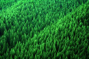 FototapetaForest of Pine Trees in Wilderness Mountains