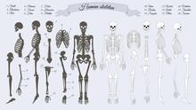 Human Skeleton. White And Black. Names Of Bones