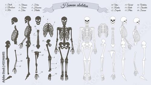 Human Skeleton. White and Black. Names of Bones – kaufen Sie diese ...