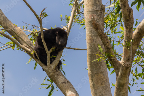 Garden Poster Monkey Howler Monkey sitting in a tree along the old Belize river