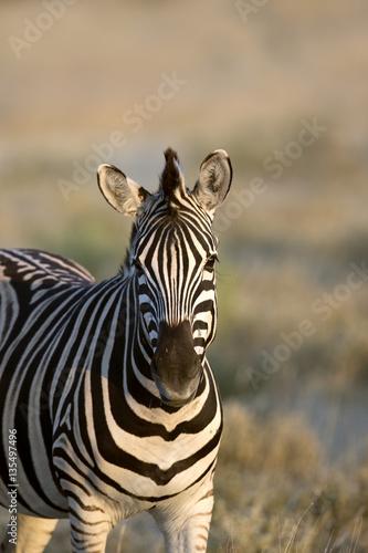 In de dag Zebra Zebra in Namibia
