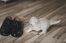 Little Kitten Playing On The Floor With Shoes 7432.