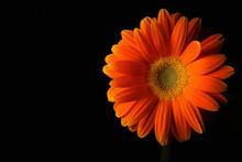Orange Daisy Flower On Black #2