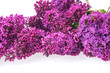 Closeup of purple lilac isolated on white background