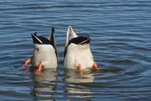 Two Mallard Duck Drakes Diving...
