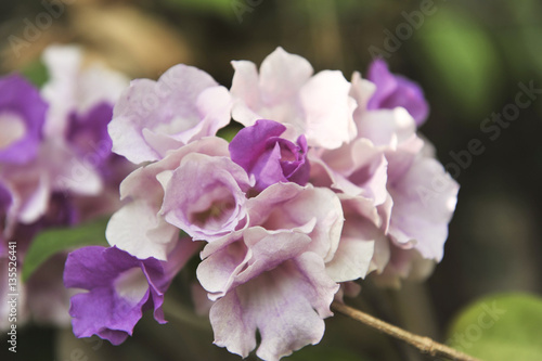 Fotobehang Zwavel geel Garlic vine violet flower selective focus point