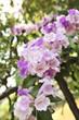 Garlic vine violet flower selective focus point