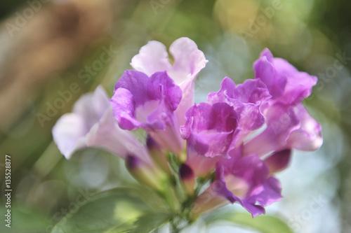 Fototapeten Natur Garlic vine violet flower selective focus point