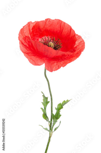Poster Poppy single red poppy