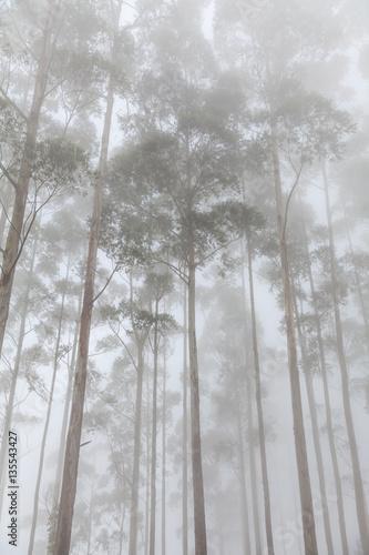 mgliste-drzewa