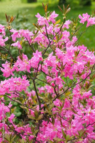 Plakat Bush różowy różanecznik kwitnie w ogródzie