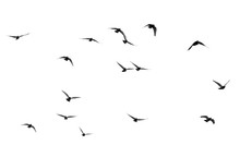 Flock Of Pigeons On A White Ba...