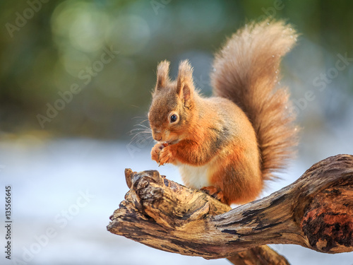 Foto op Canvas Eekhoorn Rd squirrel feeding in Winter, County of Northumberland, England