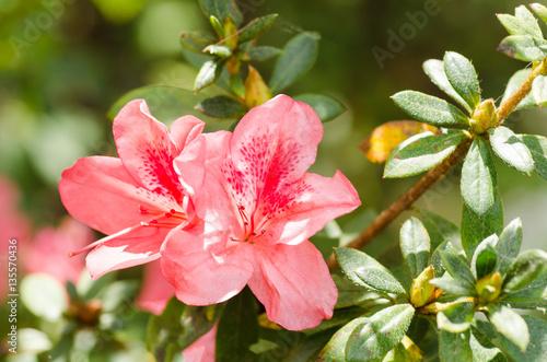 Keuken foto achterwand Azalea Azalea flower blossom in a garden