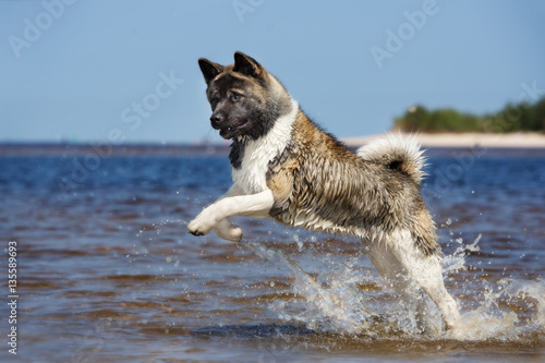 american akita dog running on the beach Canvas Print