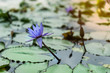 Lotus flowers with its leaves