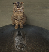 The Cat Is Sitting And Looking In A Puddle. His Reflection Looks Like A Tiger. It Is Megalomania.
