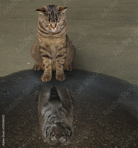 In de dag Tijger The cat is sitting and looking in a puddle. His reflection looks like a tiger. It is megalomania.