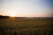красивое поле пшеницы на закате