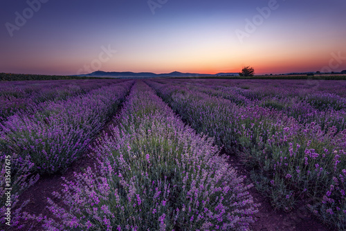 Wall Murals Cappuccino Lavender fields. Beautiful image of lavender field. Summer sunrise landscape, contrasting colors, dramatic sky.