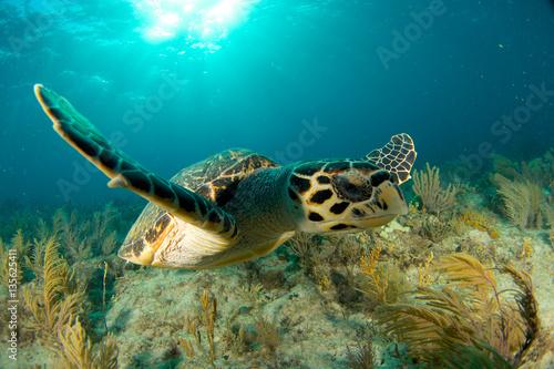 Foto op Aluminium Schildpad Hawksbill sea turtle in the Florida Keys