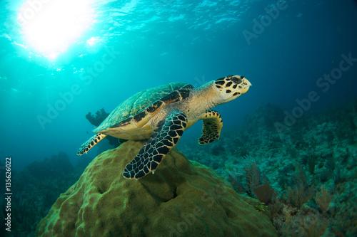 Valokuva  Hawksbill sea turtle in the Florida Keys
