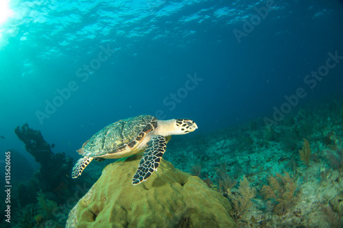 Poster Tortue Hawksbill sea turtle in the Florida Keys