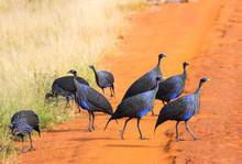 Acryllium Vulturinum (Vulturine Guineafowl). Tsavo East Park. Kenya