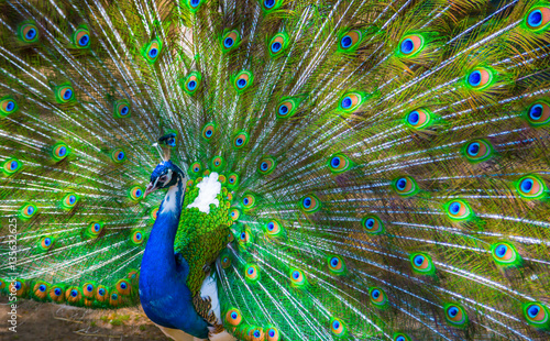 Foto op Aluminium Pauw Peacock. Portrait of male peacock displaying his tail feathers.