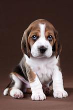 Cute Little Beagle Puppy