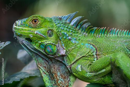 Fototapeta premium Iguana zielona