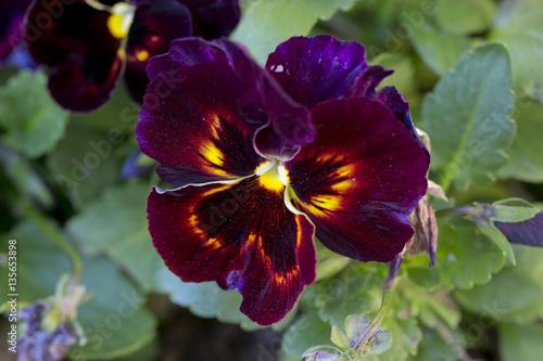 Pansies purple and yellow pansy macro