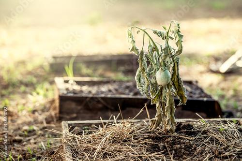 Fotografie, Obraz  The eggplant on dead tree in the vegetable garden