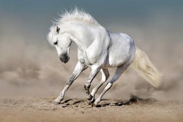 White stallion run in desert against blue sky