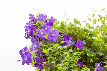 Beautiful, Blue Clematis Flowers With Vegetation