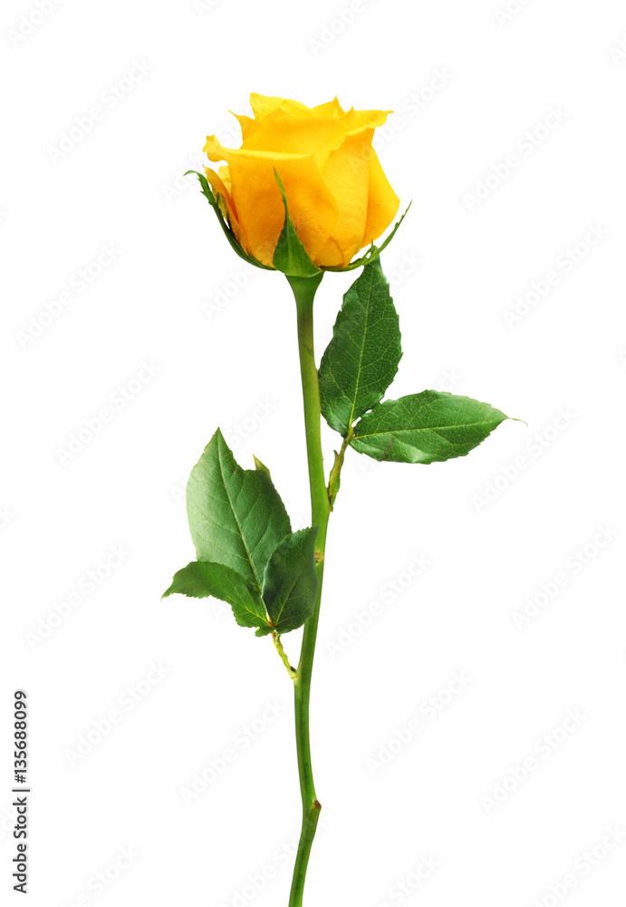Fototapety, obrazy: beautiful yellow rose isolated on white