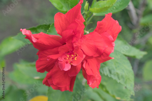 Chinese Hibiscus Red Double Flower Bloominghibiscus Rosa Sinen
