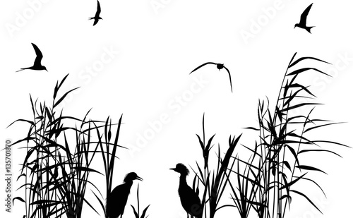 Fotografie, Obraz heron between black reed silhouettes isolated on white
