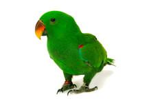 Male Eclectus Parrot, Age Five Months.