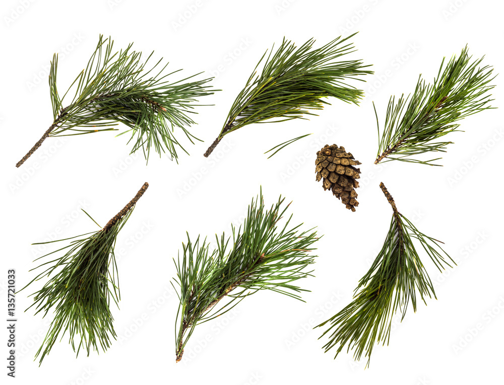 Fototapety, obrazy: Pine branch or twig isolated