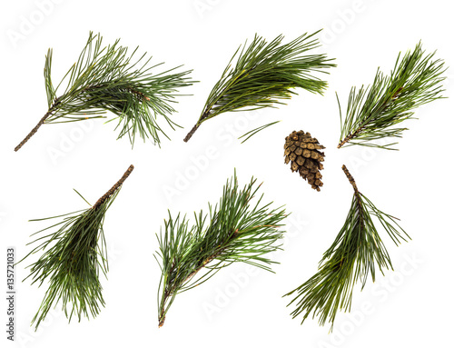 Fotografie, Obraz  Pine branch or twig isolated